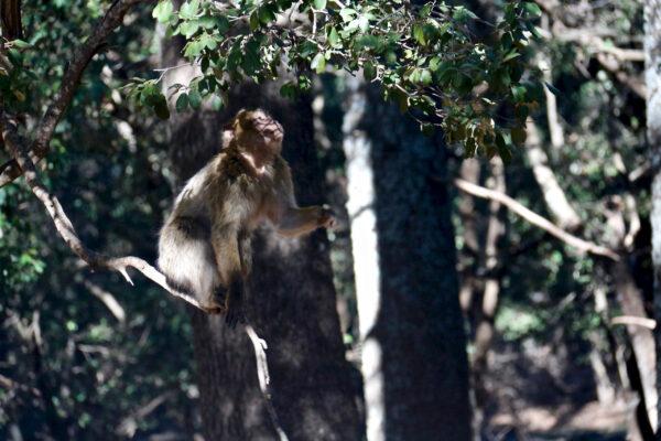 Марокканские обезьяны.