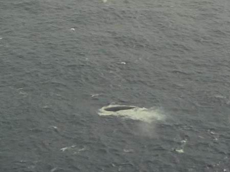Дельфины эскортируют китов в водах Бермудского треугольника.