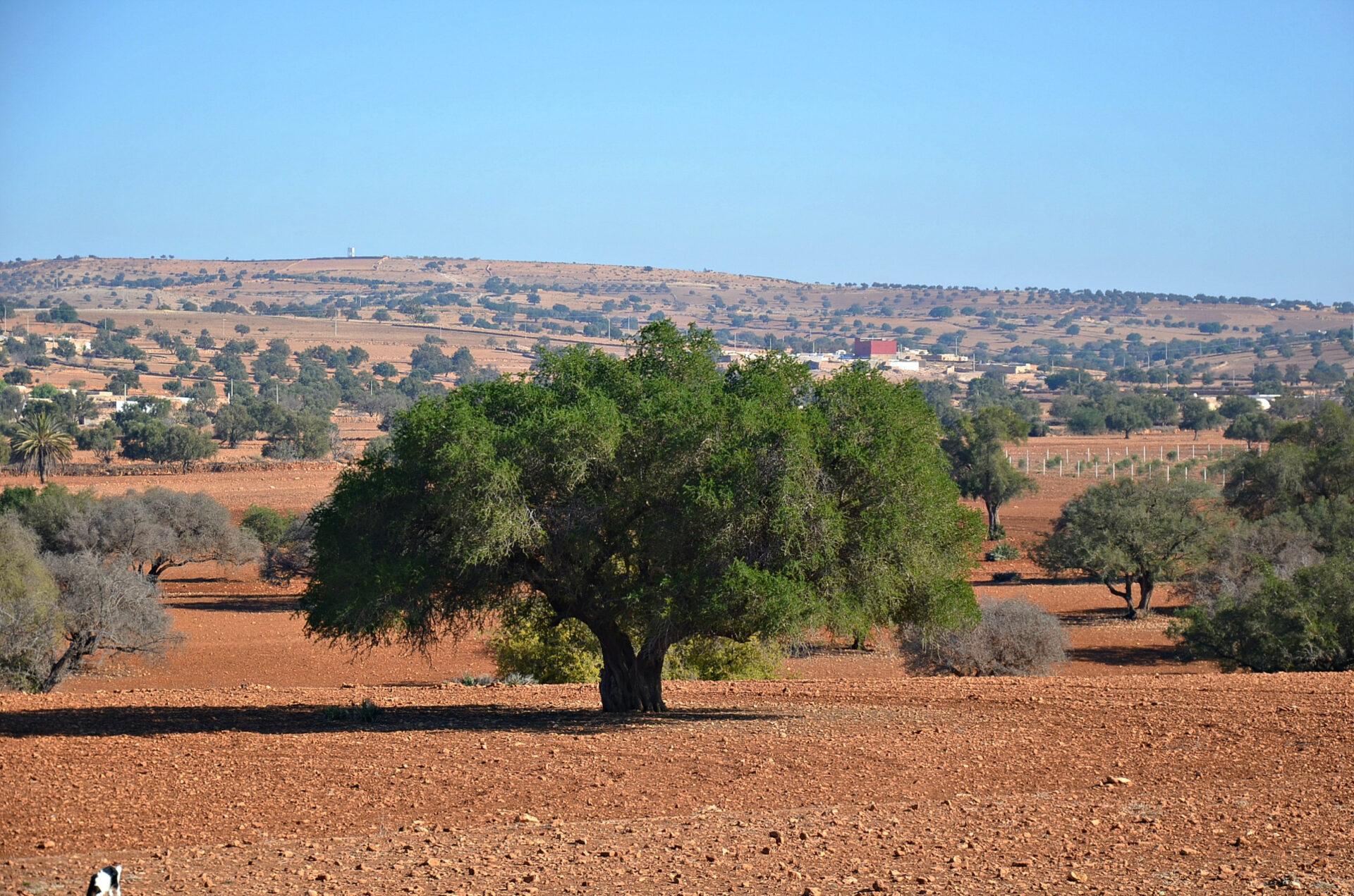 Чудо-дерево, накотором «растут» козы