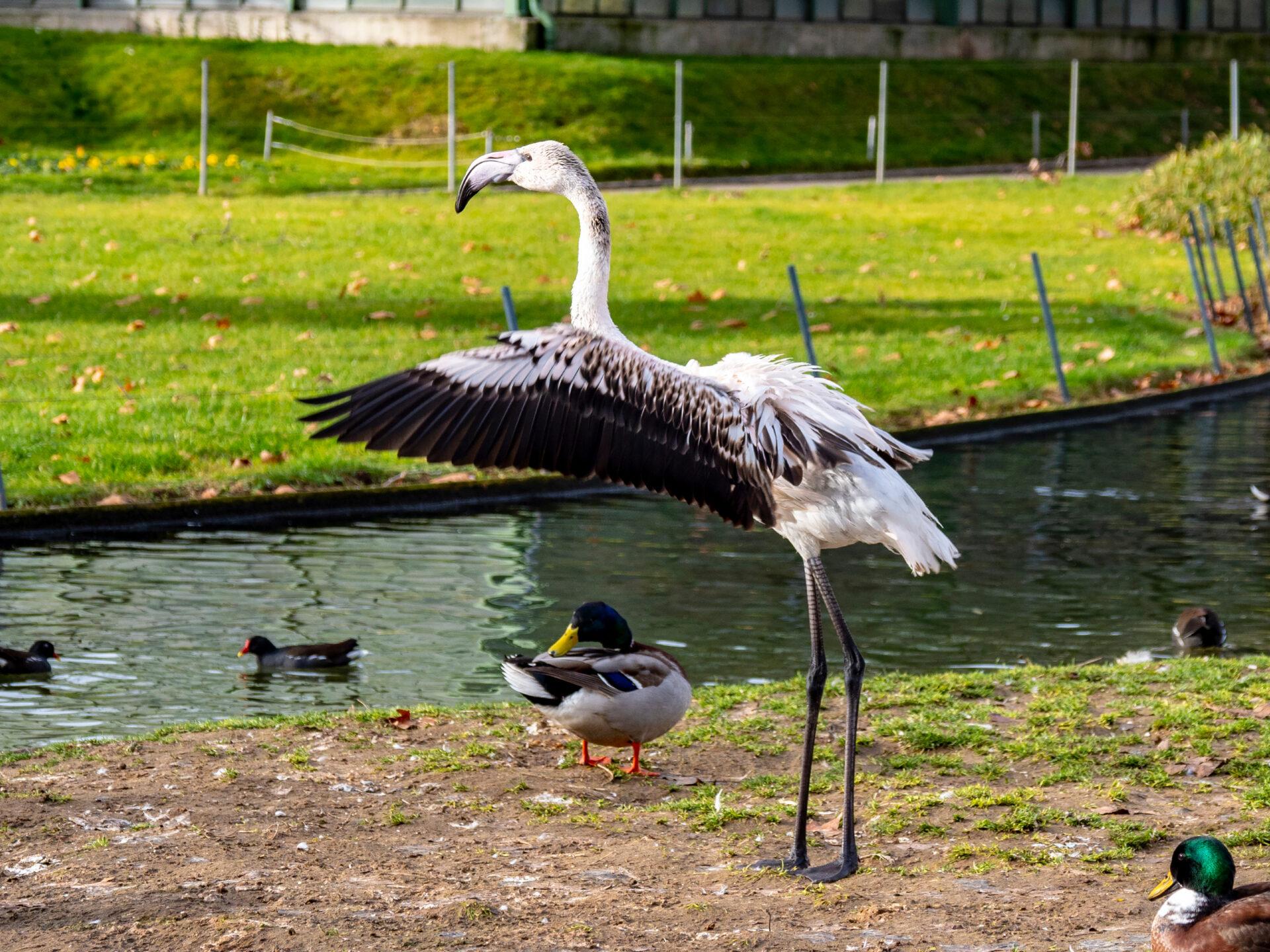 Фламинго вВильгельме (Штутгарт)